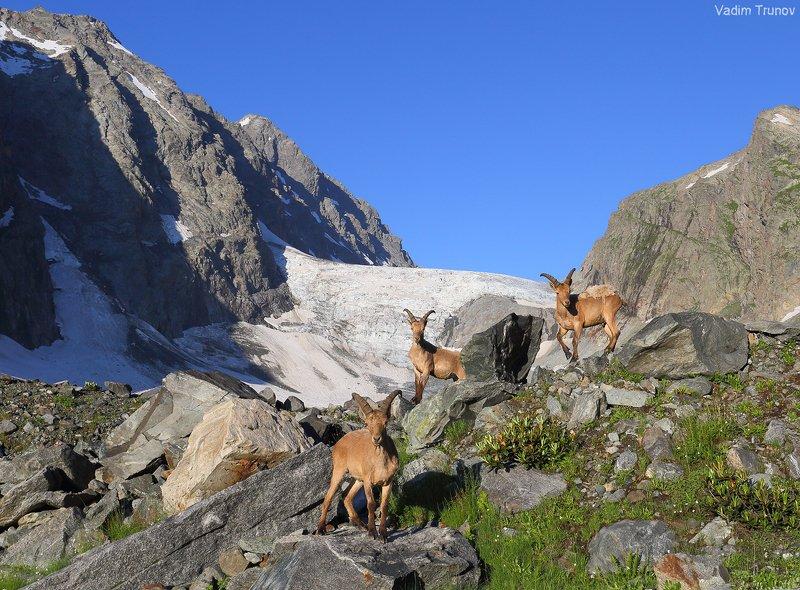 горные козлы, ледник аманауз Горные жителиphoto preview