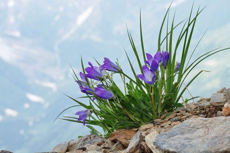колокольчики, домбай 3 000 м над уровнем моря.photo preview