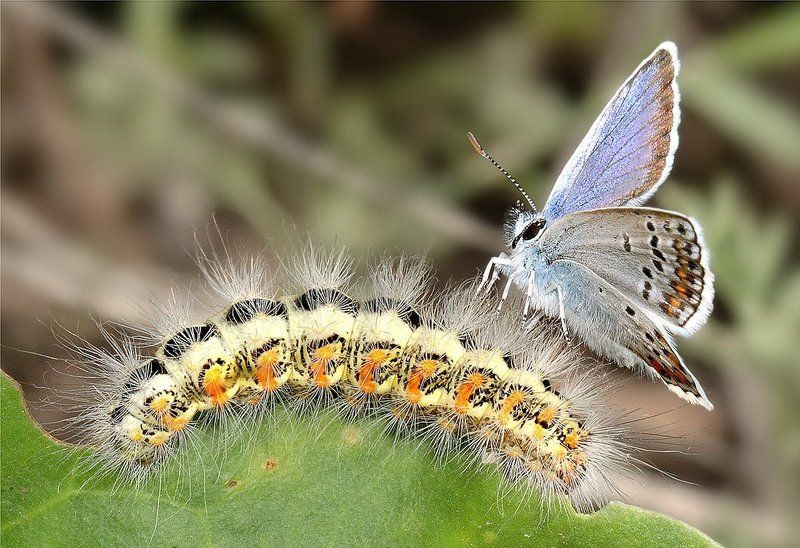 бабочка, голубянка аргус, гусеница Скоро и у тебя крылышки вырастут!photo preview