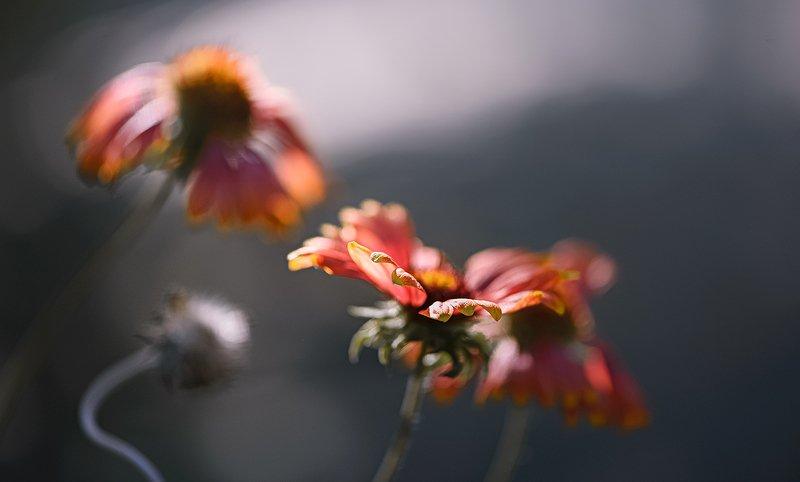 природа, макро, цветы, гайлардия Интервьюphoto preview