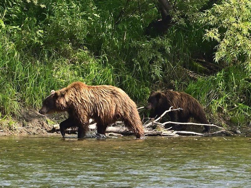 камчатка, медведь, рыбалка, дикая, природа Идут на делоphoto preview