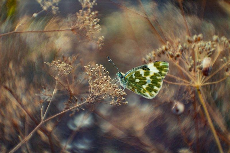 макро, бабочка Белянкаphoto preview