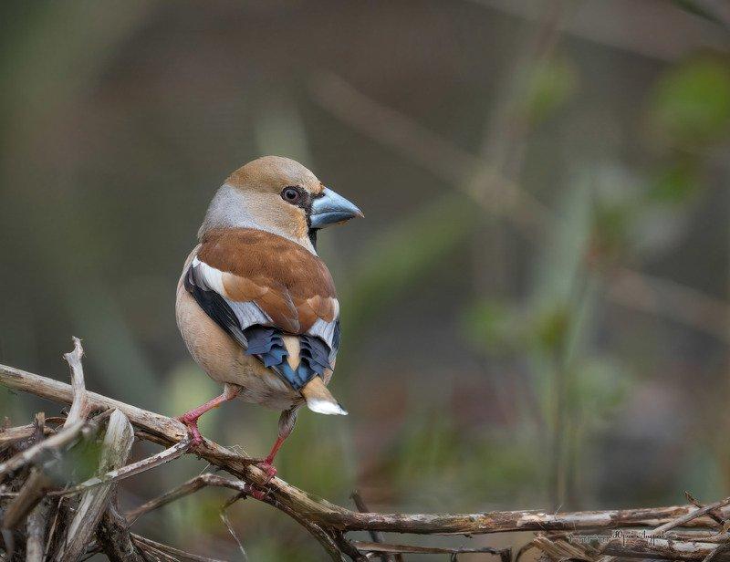 дубонос, птица, сoccothraustes coccothraustes Самец дубоноса в весеннем наряде.photo preview
