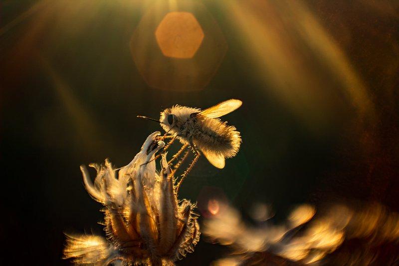 макро, насекомые, муха жужжало Мультяшкаphoto preview