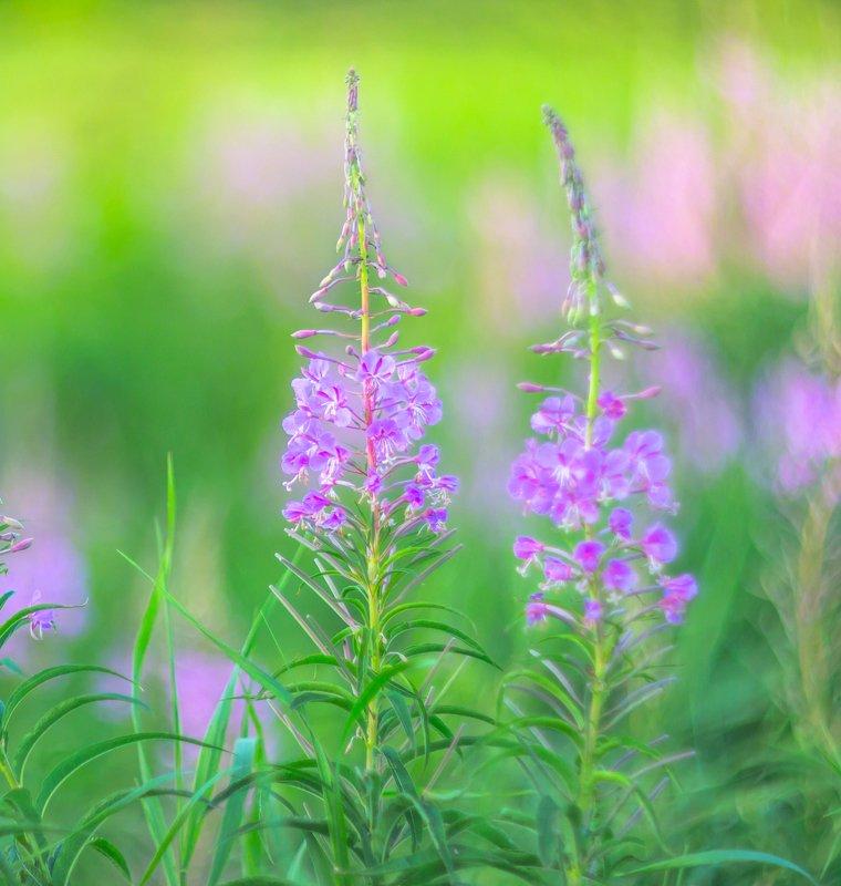 кипрей, иван-чай, лето, акварель, природа, лес, трава Акварель уходящего летаphoto preview