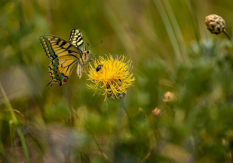 ставропольский край, ставрополье, махаон, бабочка, насекомое, лето, пёстрый, Махаонphoto preview