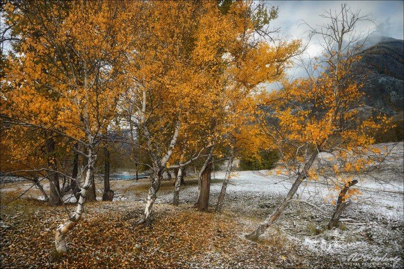 алтай, горный алтай, алтайский край, осень, березы Березовая осеньphoto preview