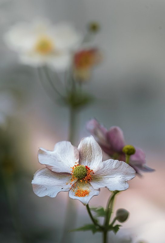 природа, макро, цветы, анемона ***photo preview