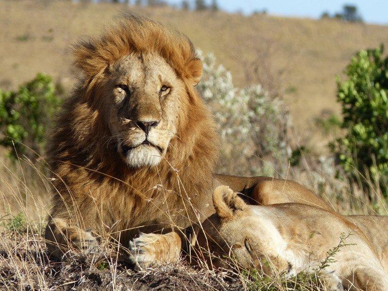wild life, animals, Kenya, Africa, light, Masai Mara, lions, nature,  Guarding her sleepphoto preview
