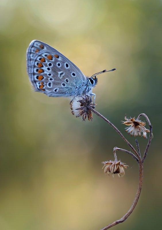 Бабочка, Голубянка ***photo preview