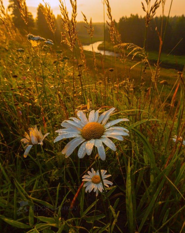 ленинградская область, рассвет, лето, август, тепло, ромашки, ромашка, роса, река, луг, цветы, Ромашковый рассветphoto preview