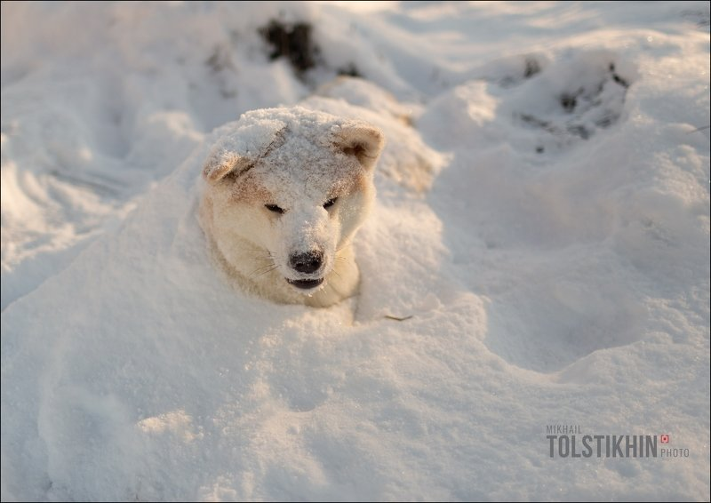 Акито-Ину Снежный песphoto preview