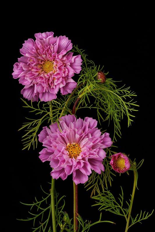 цветы, цветок, флора, природа, космея, лепестки, цвет, черный, розовый Космическая Космеяphoto preview