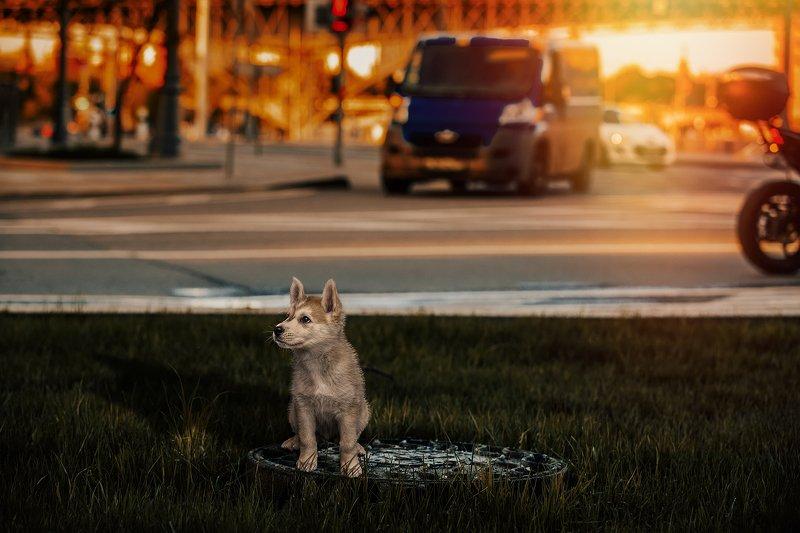 собака; щенок; одинокий; бездомный; закат; город; солнце; мегаполис; домашнее; животное В поисках настоящего другаphoto preview
