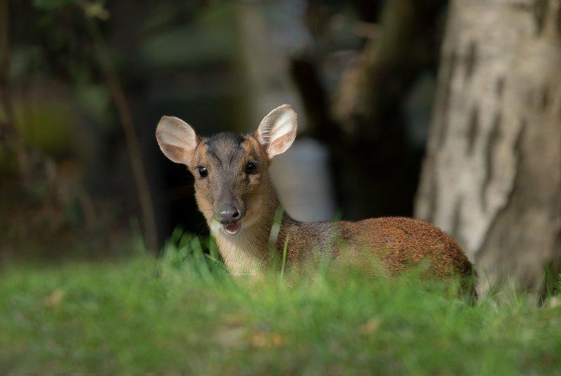 muntjac, deer, animal, nature, wildlife, Muntjac deerphoto preview