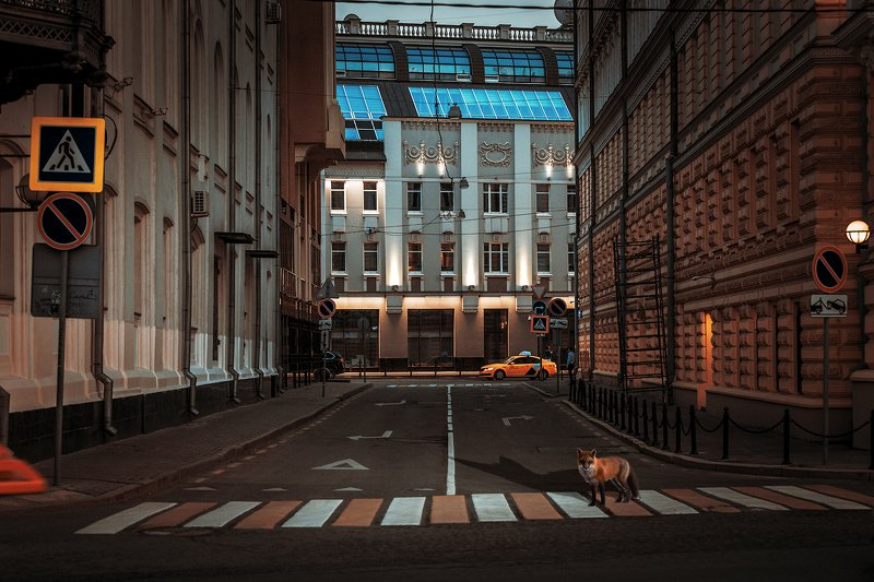 животные; лиса; город; бездомный; дикий; пейзаж; вечер;  Заблудилась в городе лисаphoto preview