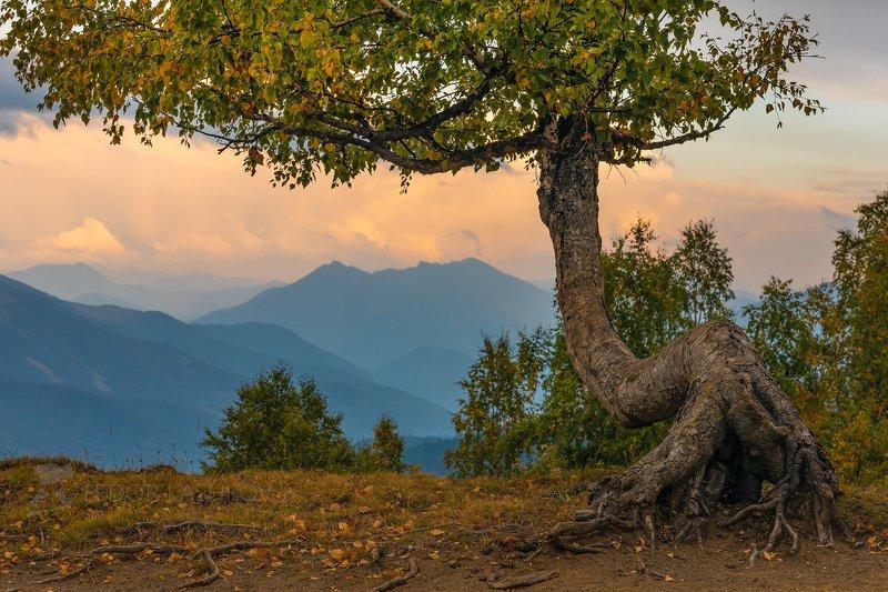 гора, горы, архыз, лето, кавказ, осень, осенний, берёза, дерево, берёзы, лес, ствол, хребет, вершина, закат, Берёзы Архызаphoto preview