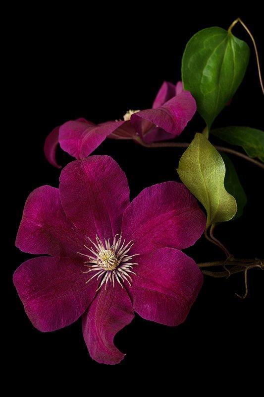 цветок, цветы, цветение, флора, растения, клематис, лепестки, листья Бархат лепестковphoto preview