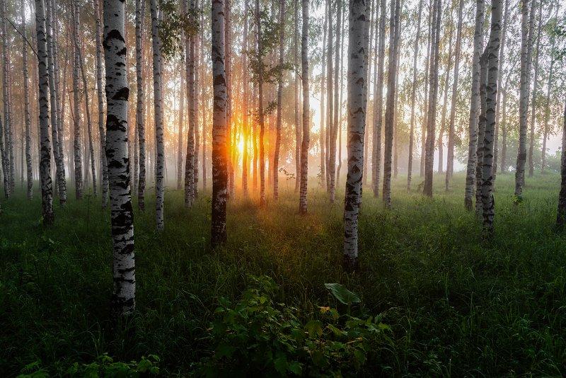 рассвет, березовая роща, россия, Первые лучи солнца в березовой рощеphoto preview