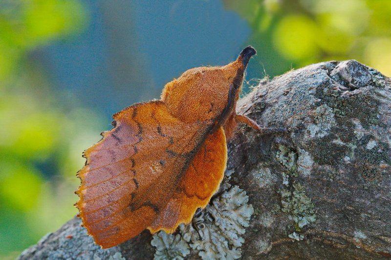 дуболистный, коконопряд, gastropacha, querciifolia Сухой листphoto preview