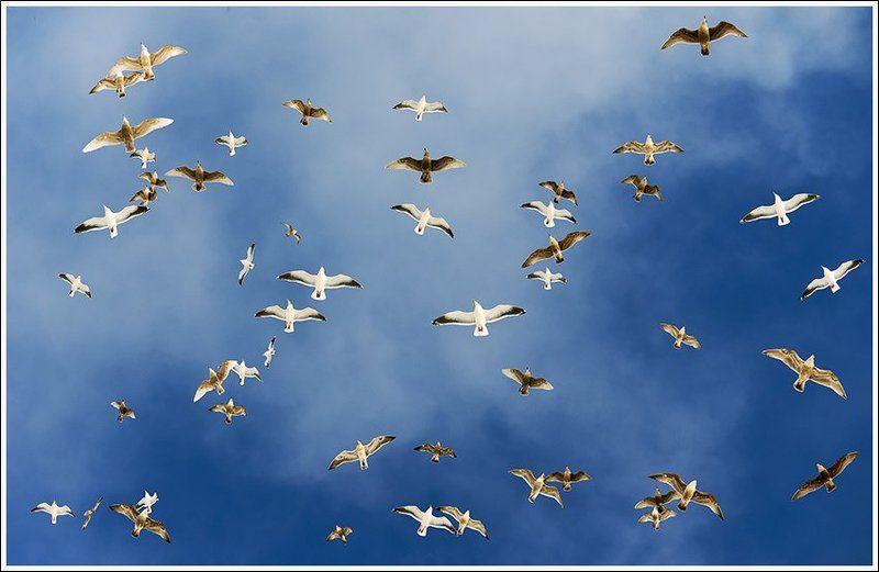 Чайки острова Шикотанphoto preview