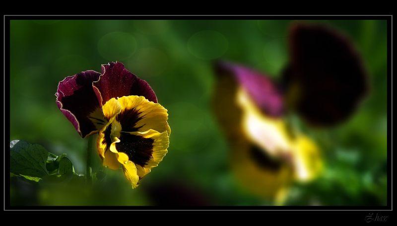 анютины глазки, цветы ***photo preview