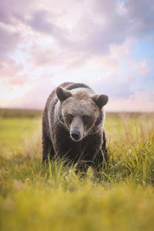 медведь, природа, портрет, взгляд, хищник, зверь, животное, bear, animal, wild Бурый медведь в полеphoto preview