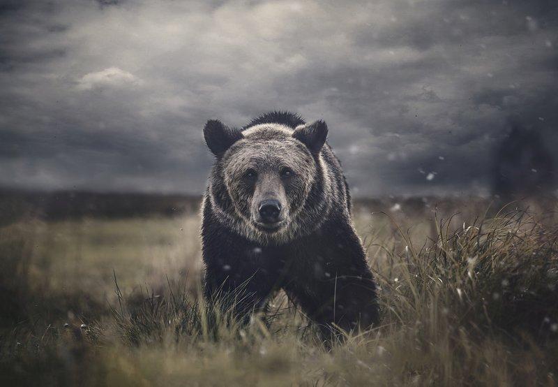 медведь, природа, портрет, взгляд, хищник, зверь, животное, bear, animal, wild Бурый медведьphoto preview