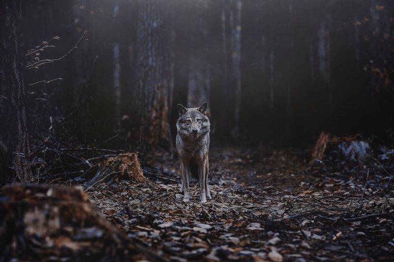 волк, лес, природа, сумерки, ночь, хищник, взгляд, встреча, дикий, wolf, animal, predator, forest photo preview