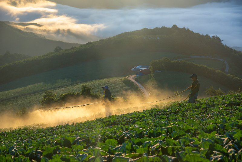 mountains,peak,cabbage,fog,clouds,farm Farmers of the anbandaegiphoto preview