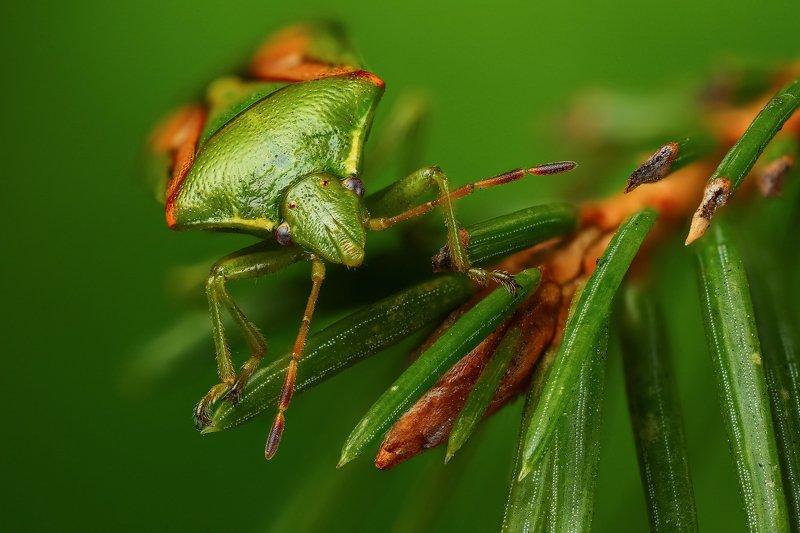 макро,природа,клоп,насекомое,животное,растение,хвоя,цвет,зеленый,оранжевый Зеленый на зеленомphoto preview