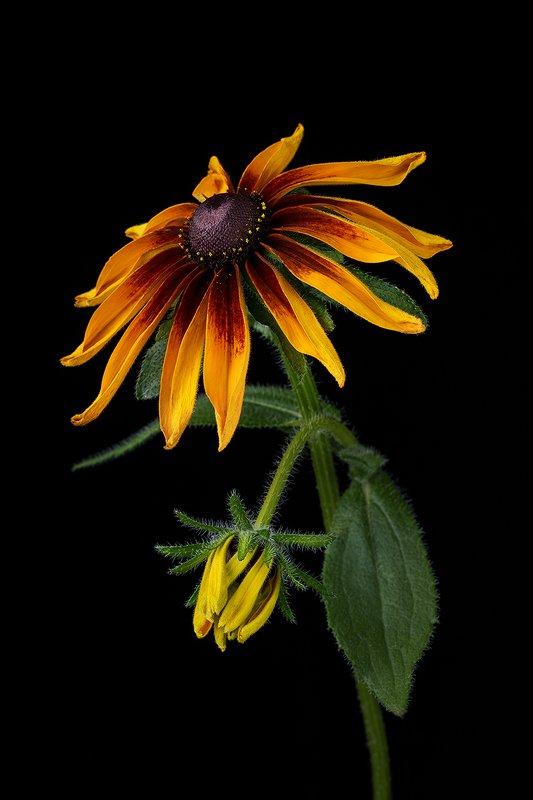 цветы, цветок, флора, природа, лепестки, цветение, рудбекия Солнечная рудбекияphoto preview