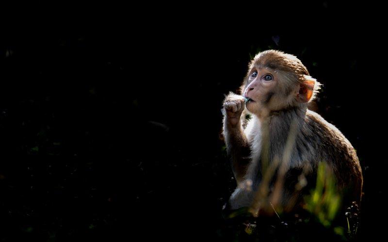 Monkey, rhesus macaque, wildlife,  juvenile, sundarban, mangroves, west bengal, india Innocence overloadphoto preview