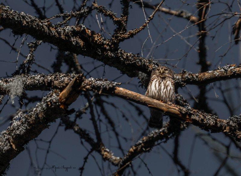 сыч, сова, сыч-воробей, лишайник, глушь Воробьиный сычphoto preview