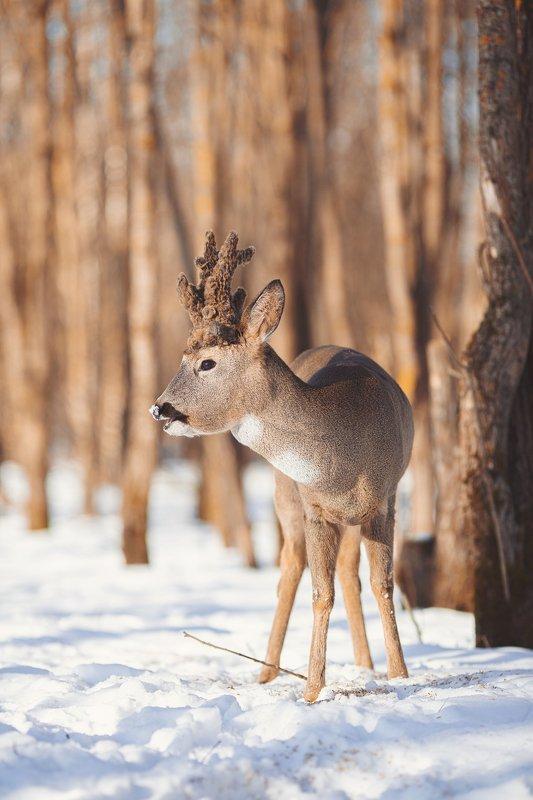 косуля, олень, лес, зима, закат, снег, копытное Идеальный камуфляж.photo preview