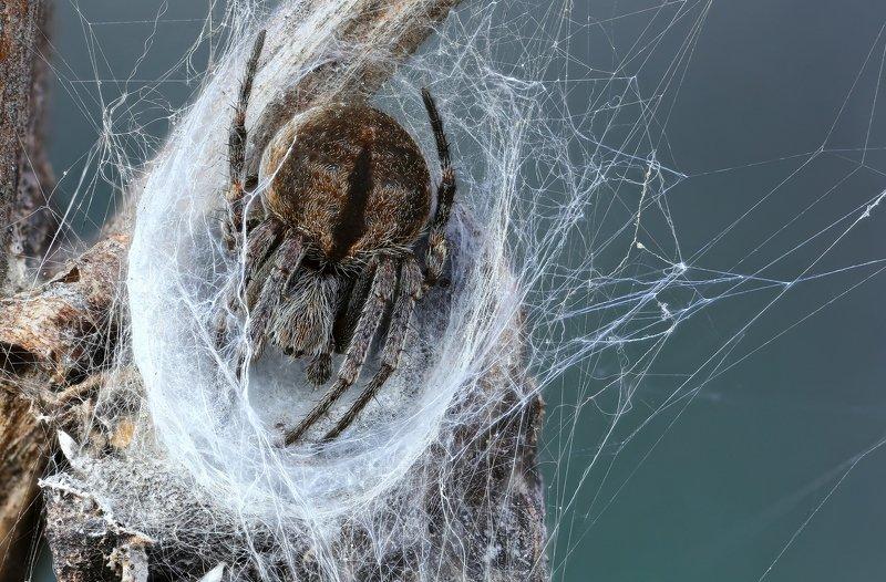 макро,природа,паук,цвет,коричневый,синий,животное,растение В кроваткеphoto preview