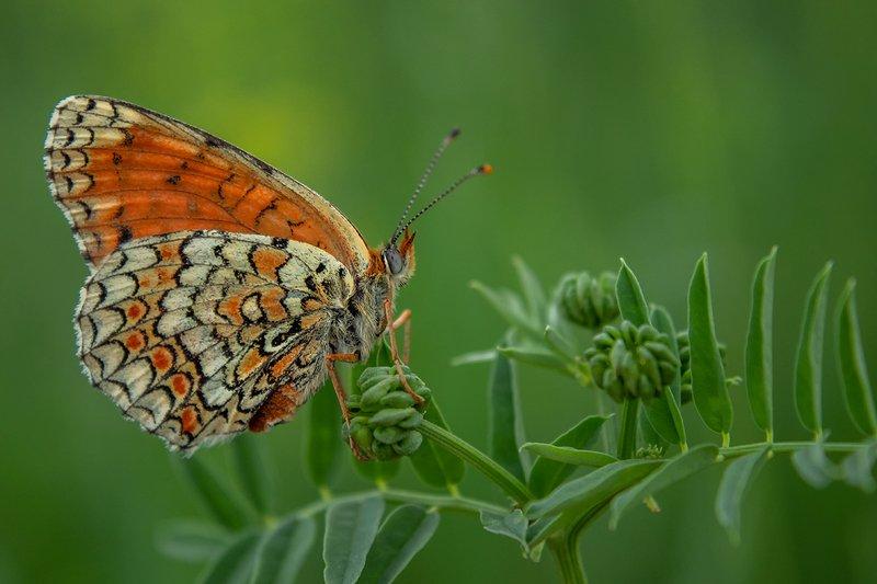 макро, бабочка Кокеткаphoto preview