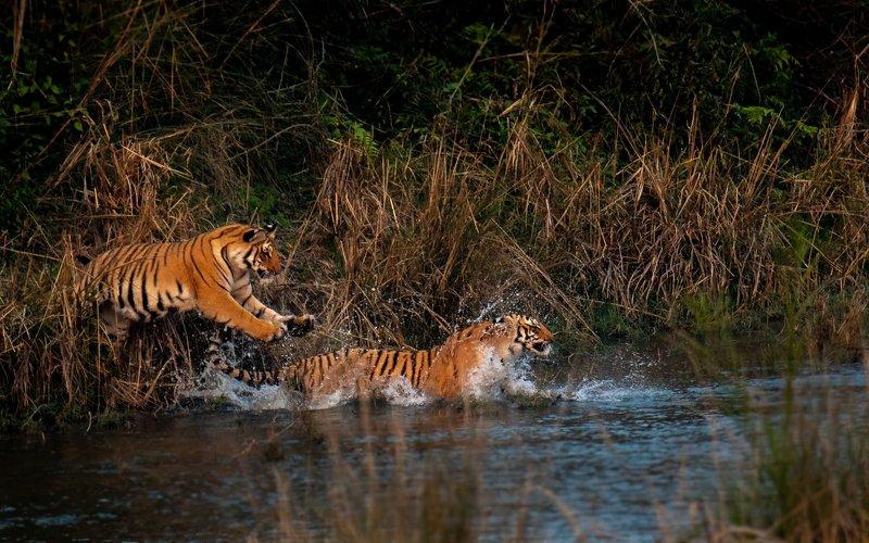 tiger tigress cubs juvenile subadultcubs subadult corbett leap jump action The Leap to Invigorationphoto preview