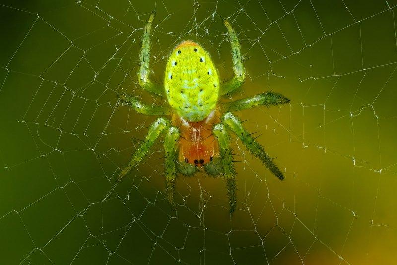 макро,природа,паук,цвет,коричневый,зеленый,черный,животное,паутина Арбузикphoto preview