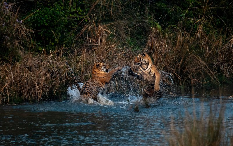 tiger tigers tigress subadult cubs juvenile corbett india playing fighting playfight Tigers Dance toophoto preview