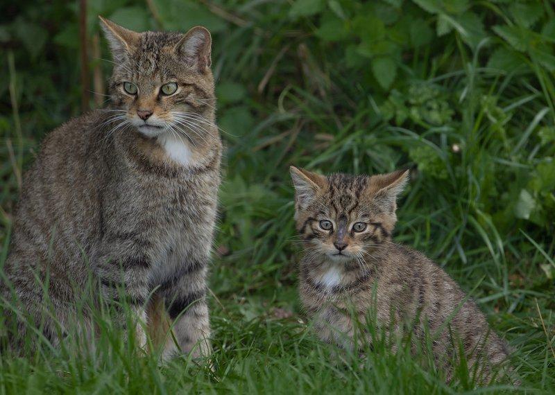 scottish wildcat, wildcat, animals, nature, wildlife, canon Scottish Wildcatphoto preview
