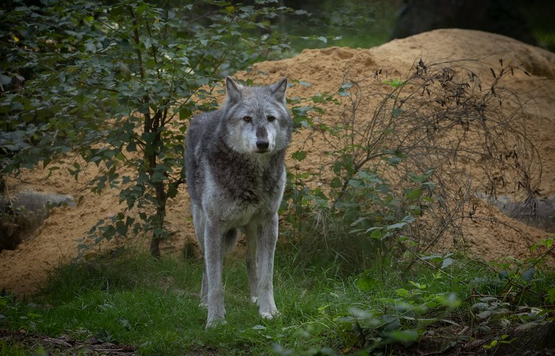 grey wolf, wolf, nature, wildlife, animals, canon Grey Wolfphoto preview