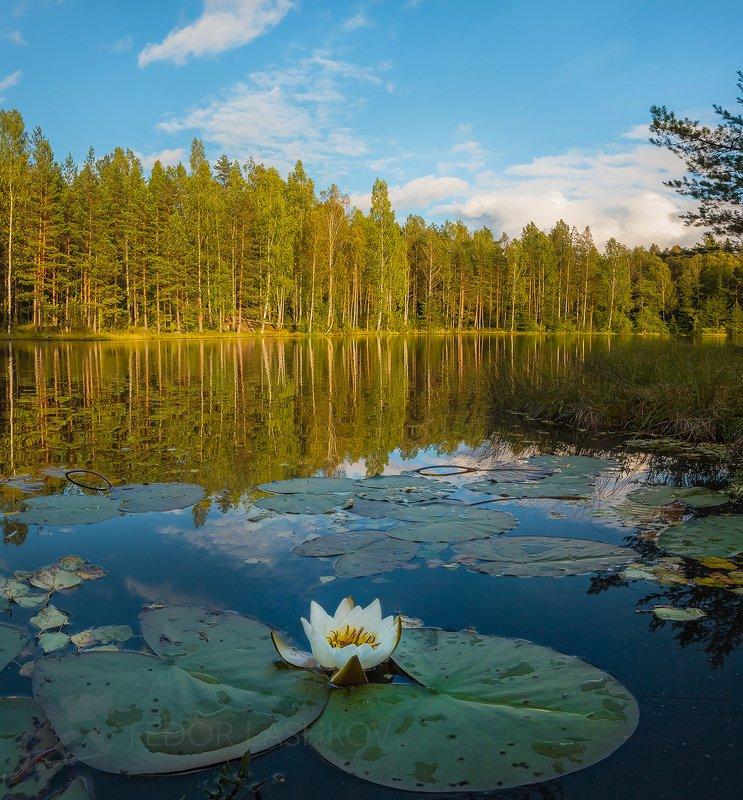 ленинградская область, день, кувшинка, лилия, водяное, лето, водоём, озеро, лес, на берегу, отражение, Кувшинка в озереphoto preview