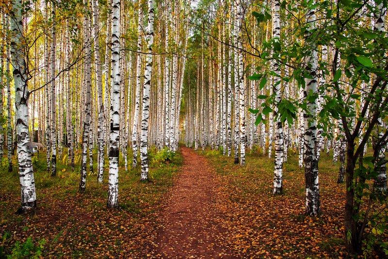 природа, осень,золото, Осень в березовой рощеphoto preview