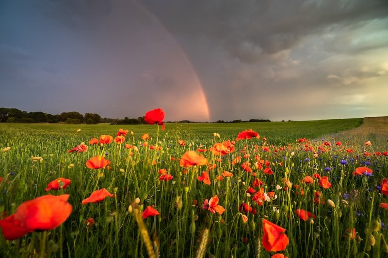 jakubprzybyla, poppies, Poppies фото превью
