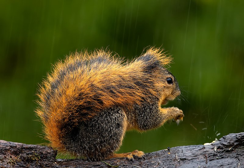 белка, squirrel, лисья белка, fox squirrel, животные,animals, дикие животные Fox Squirrel in rain. Лисья Белка фото превью