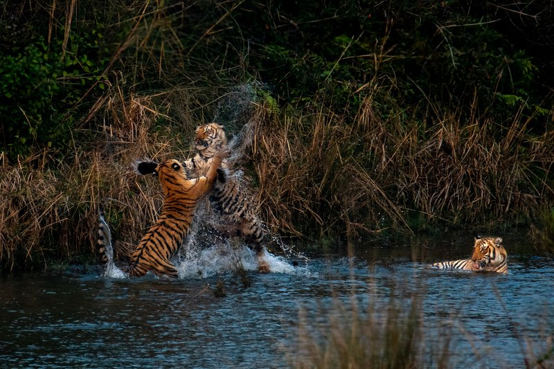 tiger tigress cubs subadult corbett india jump playfight fight play action drinking water The Playfight of Juvenilesphoto preview