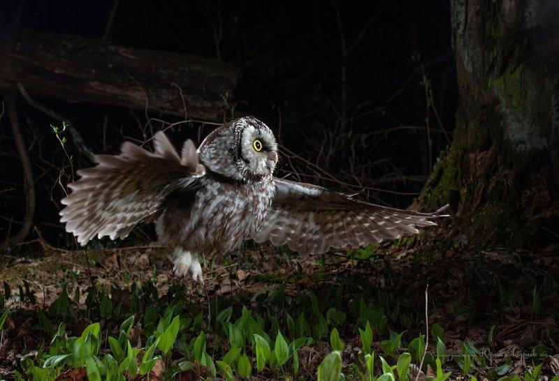 мохноногий сыч, ночь, охота, лес Ночь и сычphoto preview